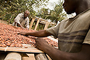Cocoa farmer Lawson Lanquaye Mensah (back), 70, and a farm worker spread cocoa beans over a mat where they will dry in the sun at Mensah's farm in the town of Assin Adadientem, roughly 100km west of Ghana's capital Accra on Sat. January 21, 2007. A bag of 65 kg of dry cocoa beans will sell for just over $60 - Mensah says the profit he makes on one bag barely reaches $15.