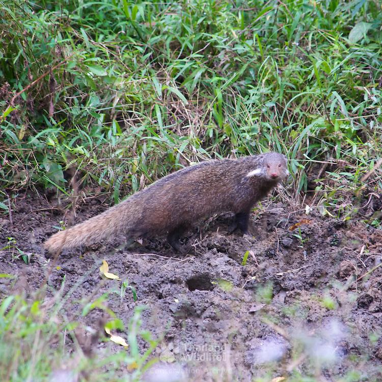 Crab-eating Mongoose (Herpestes urva) in Kaeng Krachan National Park, Thailand.