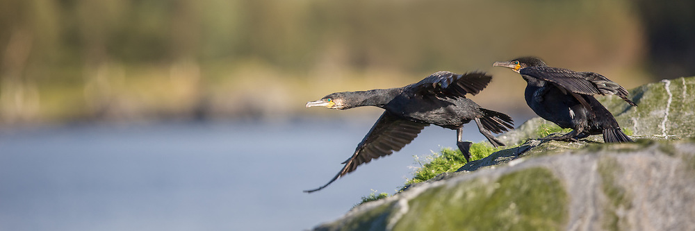 Skarv i flukt | Escaping Cormorant.