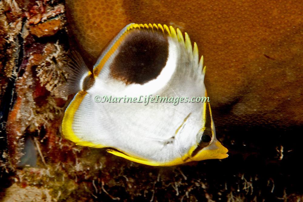 Saddled Butterflyfish inhabit reefs. Picture taken Palau.