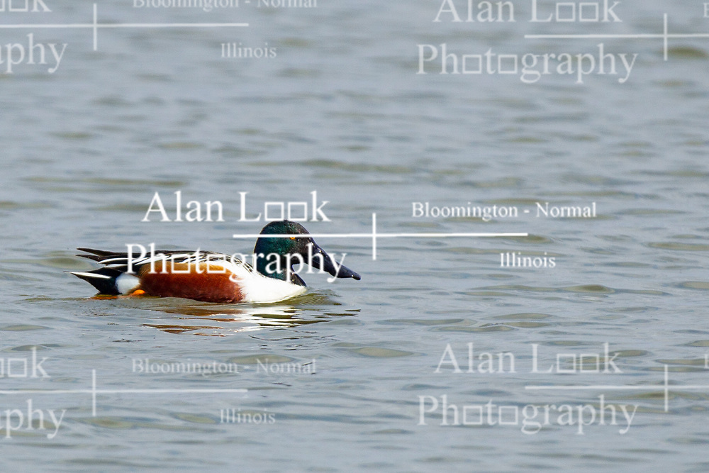 Emiquon Nature Preserve and Wildlife Refuge -  Northern Shoveler (Anas clypeata) swimming in lake water with a group of on a mostly cloudy day in central Illinois