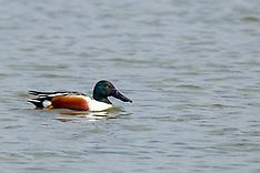 Water Birds, Ducks, Geese, Shoveler Royalty Free Stock Images