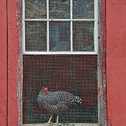 Chicken, Howell Living History Farm, Lambertville