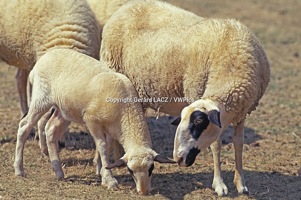 Causses du Lot  Domestic Sheep, a French Breed