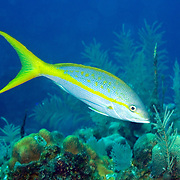 Yellowtail Snapper feed in open water above reefs in Tropical West Atlantic; picture taken Roatan, Honduras.