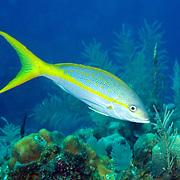 Yellowtail Snapper feed in open water above reefs in Tropical West Atlantic; picture taken Roatan, Honduras.