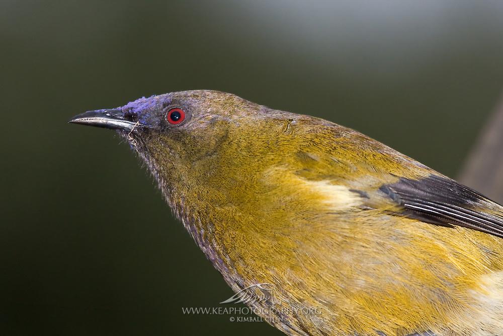 Bellbird, Stewart Island, New Zealand