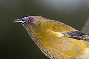 Bellbird, Stewart Island, New Zealand