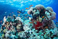 Anthias-Barbier commun (Anthias anthias) of Red Sea, Sudan