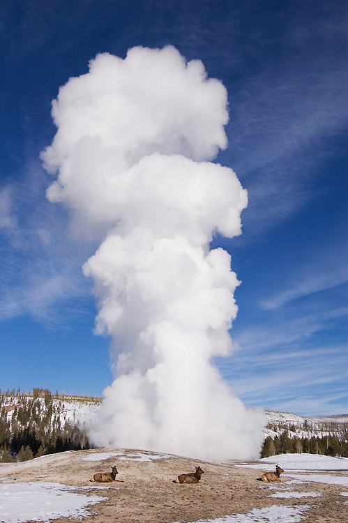 Old Faithful geyser erupting with elk resting at base; Yellowstone National Park, Wyoming.