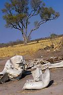 Alberto Carrera, Elephant skeleton, Chobe National Park, Botswana, Africa