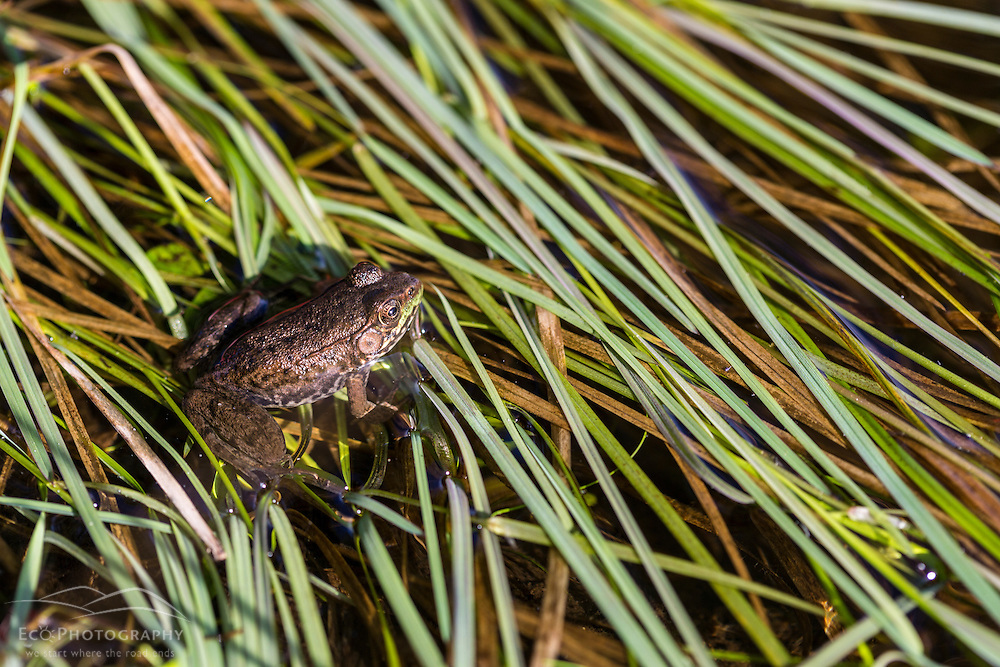A green frog, rana clamitans melanota, in the grass next to the Mattawamkeag River in Wytipitlock, Maine.