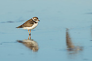 A semipalmated plover is reflected in the shallow still water, Puerto Vallarta, Mexico