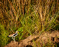 White-headed Lapwing. Zambezi River Wildlife Tour. Image taken with a Nikon 1 V3 camera and  70-300 mm VR lens