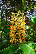 Kahili Ginger flower, Kilauea Volcano, HVNP, Hawaii Volcanoes National Park, The Big Island of Hawaii