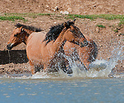 Wild horses splashing in a pond to cool off on a hot Summer afternoon in the Pryor Mountains, MT