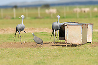 Blue Crane pair and helmeted guineafowl standing next to a feeding trough in a farm field, Overberg, Western Cape, South Africa