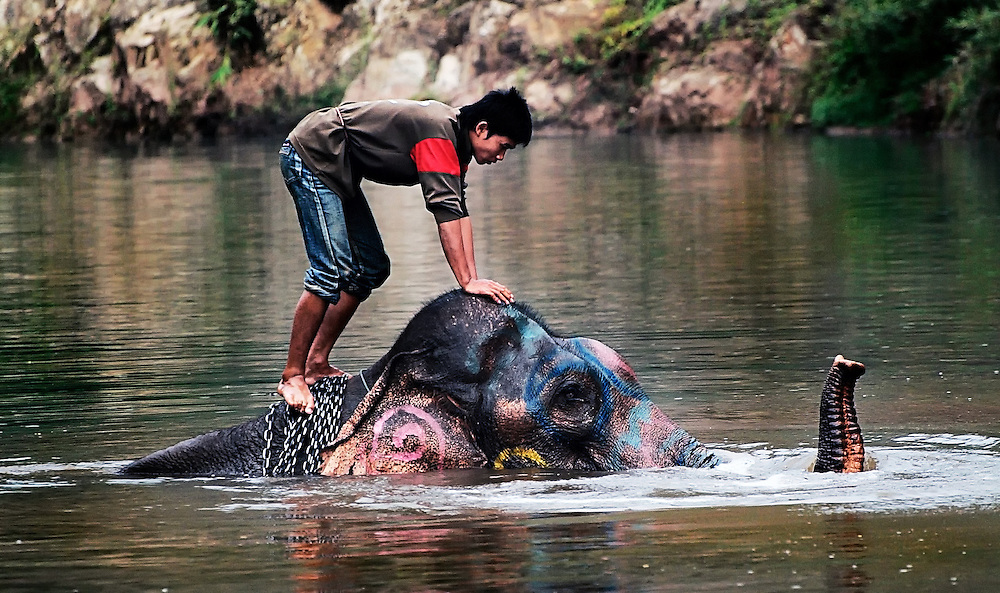 An Asian elephant having it's morning bath at Pak Lai, Laos.