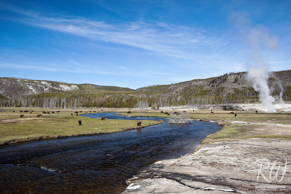 Herd of Bison Along Firehole River at Biscuit Basin, Yellowstone National Park, Wyoming