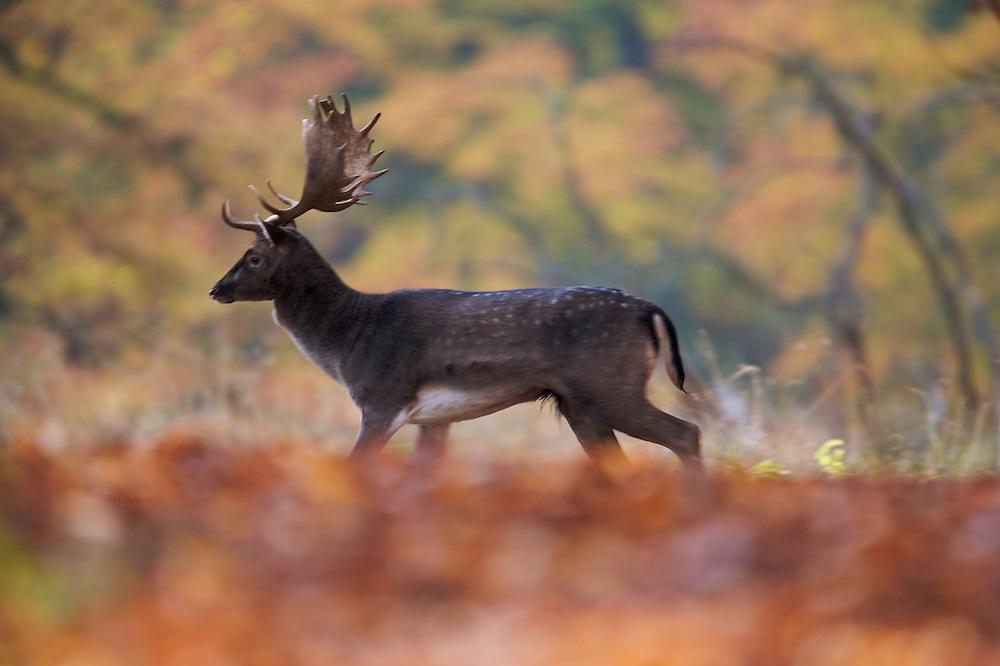 Fallow Deer (Dama dama), Klampenborg Dyrehave, Denmark. Fenced reserve enclosure. Fenced reserve enclosure.