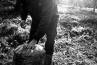 02/12/2010 Acquaviva delle Fonti, chiusura di un sacco pieno di olive...La raccolta delle olive e la produzione dell'olio extravergine sono un rituale che si protrae da moltissimo tempo in Puglia, questo avviene solitamente nel periodo che va da novembre a dicembre, mentre il lavoro di preparazione e coltivazione si svolge lungo tutto l'arco dell'anno..La raccolta è seguita nella maggior parte dei casi, quando le olive non vengono vendute all'ingrosso, dalla molitura presso gli oleifici per la produzione di quello che da queste parti viene chiamato anche oro verde..