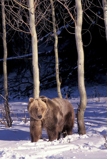 Grizzly Bear, (Ursus horriblis) In western Rockies. Montana. Winter  Captive Animal.