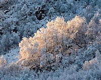 Solgløtt på snøtungebjørketrær. Den eneste dagen med ordentlig snøfall i sørlige Rogaland før jul i 2013. Her fra Øvstabødalen i gjesdal kommune.