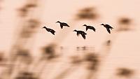 Krikkender, Anans crecca, flokk kommer inn for landing i vannkanten ved Orrevatnet naturreservat i Klepp, Rogaland.