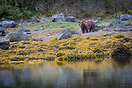Fuzzy the Grizzly and his reflection in the estuary
