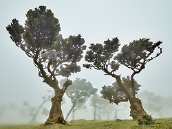 Ancient laurel trees in Fanal forest on the island of Madeira are stunted by age and harsh conditions.