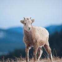 bighorn sheep lamb wild rocky mountain big horn sheep