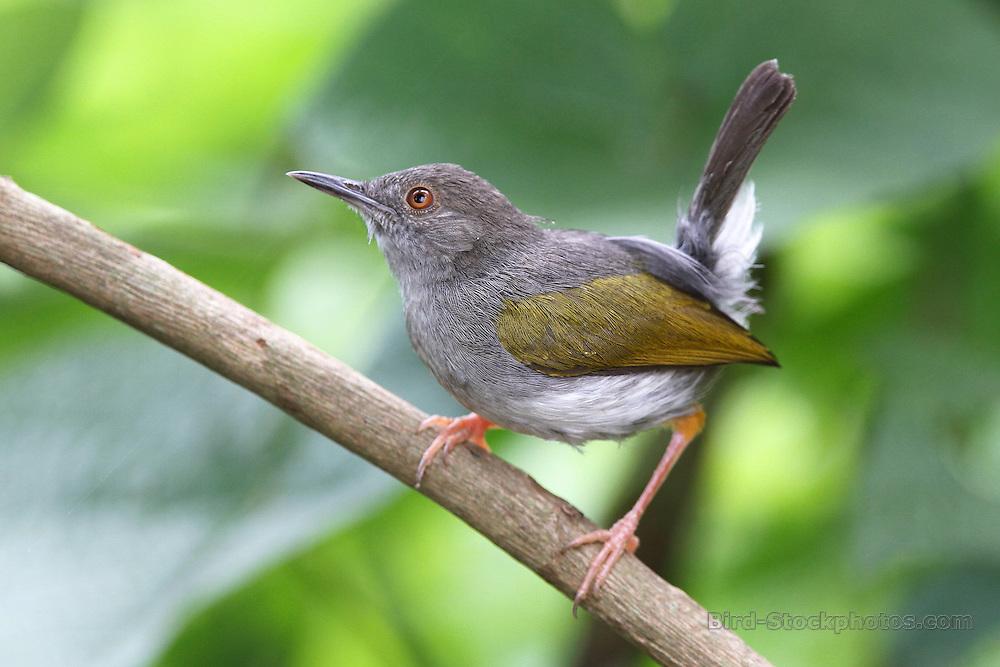Grey-backed Camaroptera, Camaroptera brevicaudata, Uganda, by Jonathan Rossouw