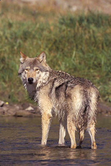 Gray Wolf, (Canis lupus) Adult in shallows of river. Rocky mountains.  Captive Animal.