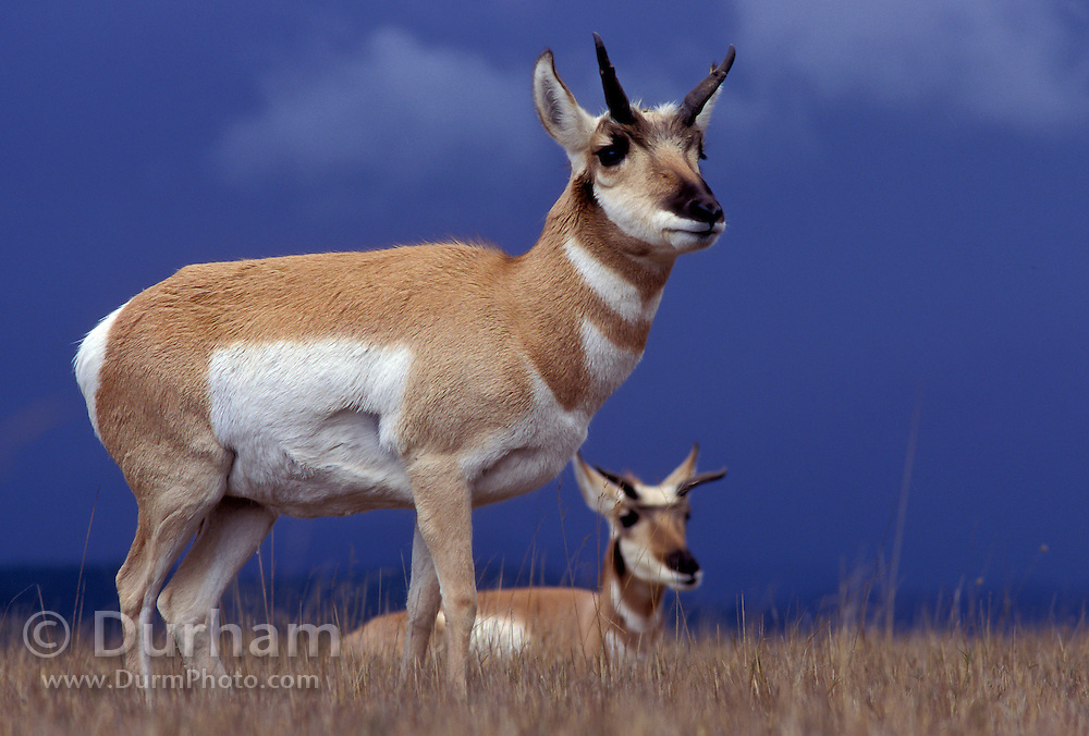 Pronghorn (Antilocapra americana) pair of females. Hart Mountain National Wildlife Refuge, Oregon.