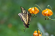 Papilio rutulus - Western Tiger Swallowtail