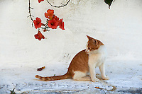 Grece, Cyclades, chat des Cyclades // Greece, Cyclades islands, Cyclades cat