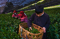 Japon, île de Honshu, région de Shizuoka, recolte du thé dans des chmaps couverts, MonsieurFumiya Shiratori de tea farm « Okakae Chaen Kanebun » // Japan, Honshu, Shizuoka, tea picking on the covered fields, Mr Fumiya Shiratori de tea farm « Okakae Chaen Kanebun »