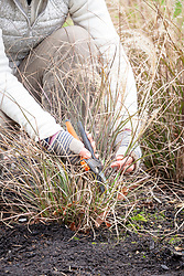 Cutting back grasses using secateurs