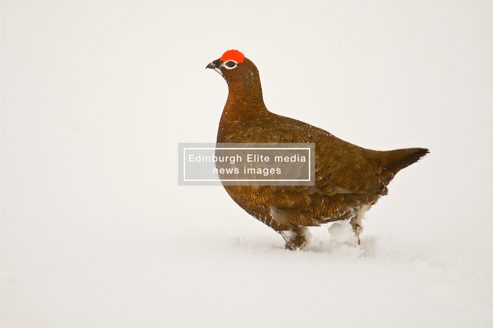 A Red Grouse in the Cairngorms takes to the snow the as Storm Doris hits the UK. 23rd Feb 2017 (c) Brian Anderson | Edinburgh Elite media