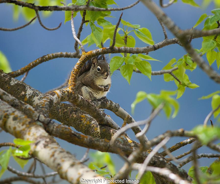 Red squirrel. Tamiasciurus hudsonicus., British Columbia, canada,