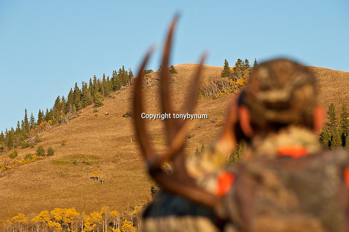 muledeer hunter in camo orange, glassing bull elk fall hunting rocky mountains