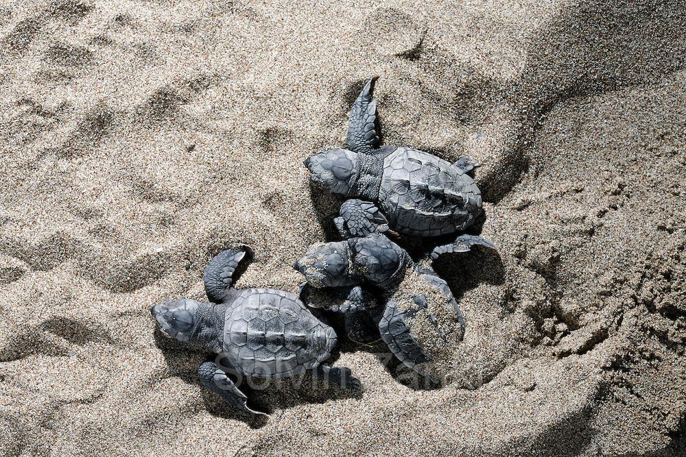 Loggerhead turtle (Caretta caretta)   Unechte Karettschildkröte (Caretta caretta)   Unechte Karettschildkröte (Caretta caretta)