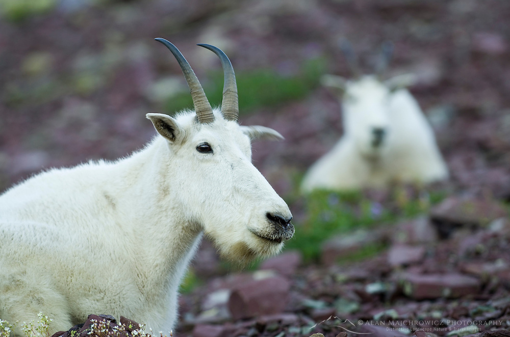 Mountain Goats (Oreamnos americanus) at Logan Pass, Glacier National Park Montana USA