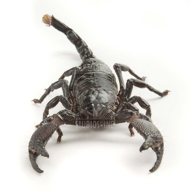 Front view of a black scorpion on a white background