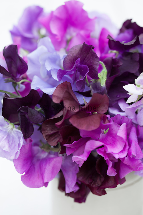 Lathyrus odoratus 'Blue Shades' mix - sweet pea