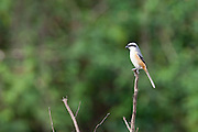 The grey-backed shrike (Lanius tephronotus) is found in the nothern and north eastern states of India, Nepal, Bhutan, China and Yunnan.<br /> It's believed they breed at the highest altitude of all the shrike species.   Given its relatively wide distribution and no apparent evidence of declining numbers,  it is are not considered to be an endangered species.