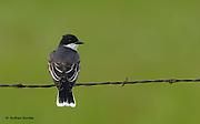 Eastern Kingbird (Tyrannus tyrannus), National Bison Range, Montana