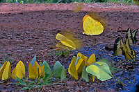 Swallowtail, Yellow and Green butterflies flying and drinking moisture from wet sand Iguazu Falls, Argentina. Insects in Flight, High Speed Photography. Image by Andres Morya