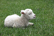 lamb near Rotorua,New Zealand.  Photograph by Dennis Brack