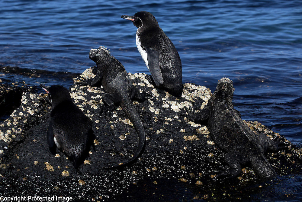 Two Galapagos penguins share a rock with marine iguanas on Isabela Island in the Galapagos.